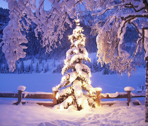 natural-christmas-tree-in-snow_large